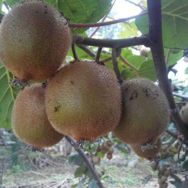 统计表明杭州人最喜欢吃猕猴桃。