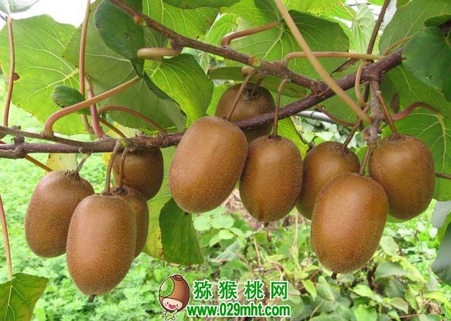 猕猴桃种植前景如何?
