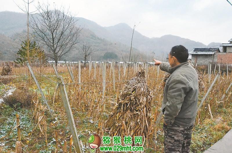 四川一村发展猕猴桃产业脱贫失败 伤的都有啥?
