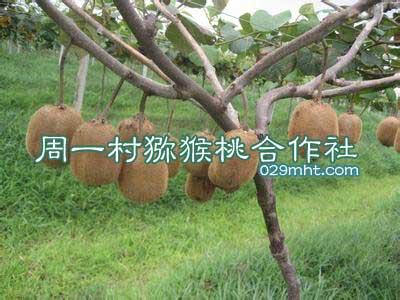 周一村猕猴桃合作社