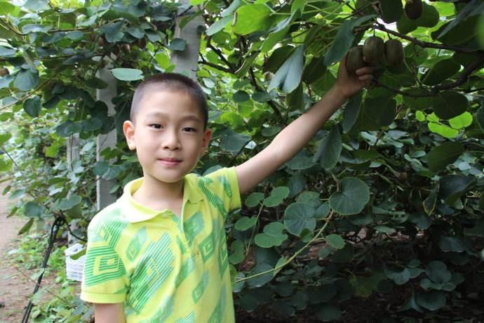 供应陕西省黄心猕猴桃,原产地