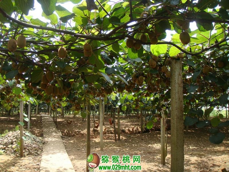 3月份猕猴桃果园应该怎么管理?