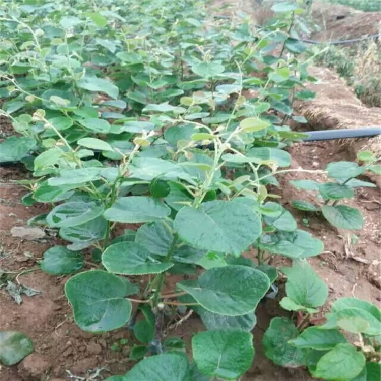 批发销售西安猕猴桃种苗,猕猴桃之乡