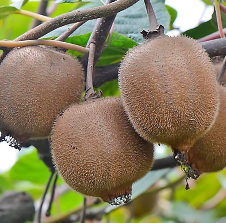 批发销售周至县猕猴桃产业园区猕猴桃