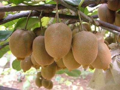 批发销售果汁猕猴桃,产地陕西
