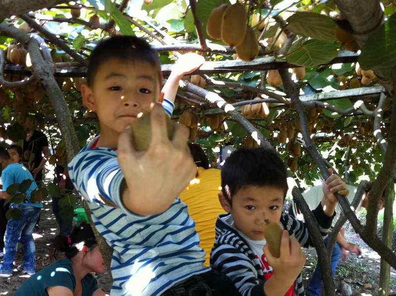 陕西健康平安猕猴桃,产地发货