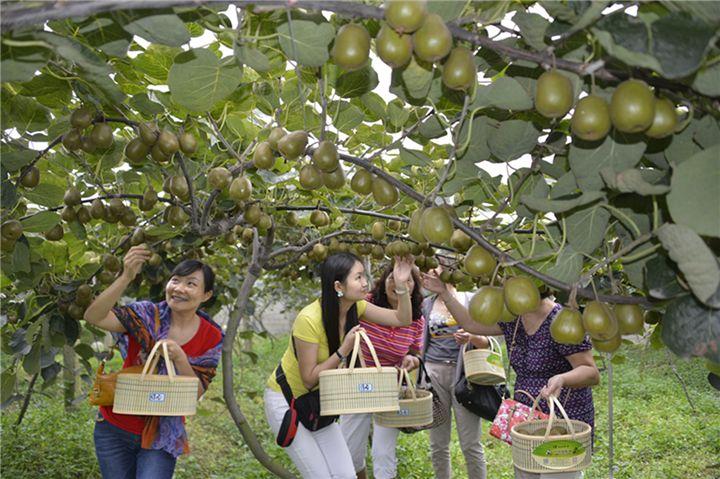 陕西猕猴桃采摘基地,猕猴桃旅游