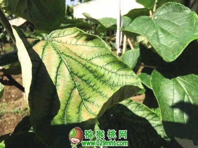 猕猴桃的疑难杂症!肥害、黄化、灰霉病、果面凹陷