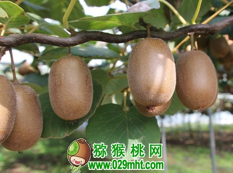 猕猴桃的需肥特点以及优产施肥技术、时间