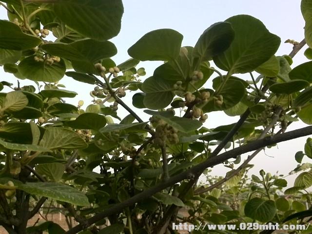 2021年依然要学的猕猴桃树抹芽技术