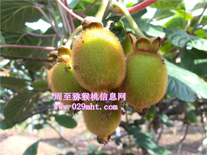 陕西猕猴桃6月份生长状况-猕猴桃画报