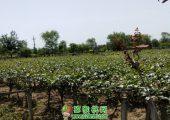 中国猕猴桃之乡5月份猕猴桃果园图片