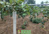 6月底陕西省西安市周至县猕猴桃图片