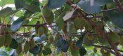 周至猕猴桃人投稿6月份猕猴桃生长图片