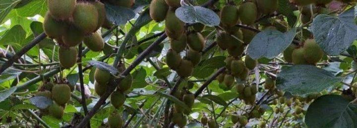 周至县景联社区猕猴桃生长记录图片画报,猕猴桃爱家112期