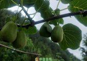 江西红心猕猴桃已经长大了,