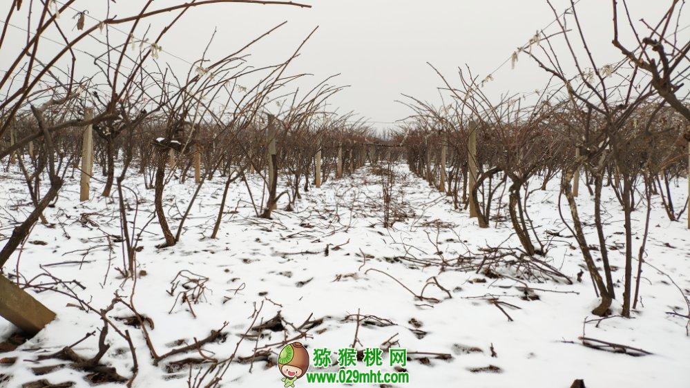 中国陕西周至猕猴桃之乡冬天雪景