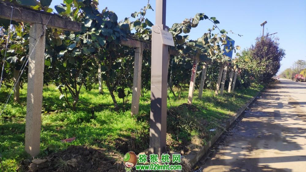 2020大美中国猕猴桃之乡猕猴桃庄园