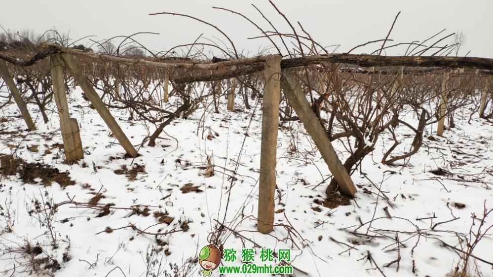 中国陕西省周至县冬天雪景猕猴桃照片