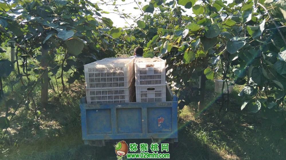 带你了解猕猴桃储存冷库和出货图片