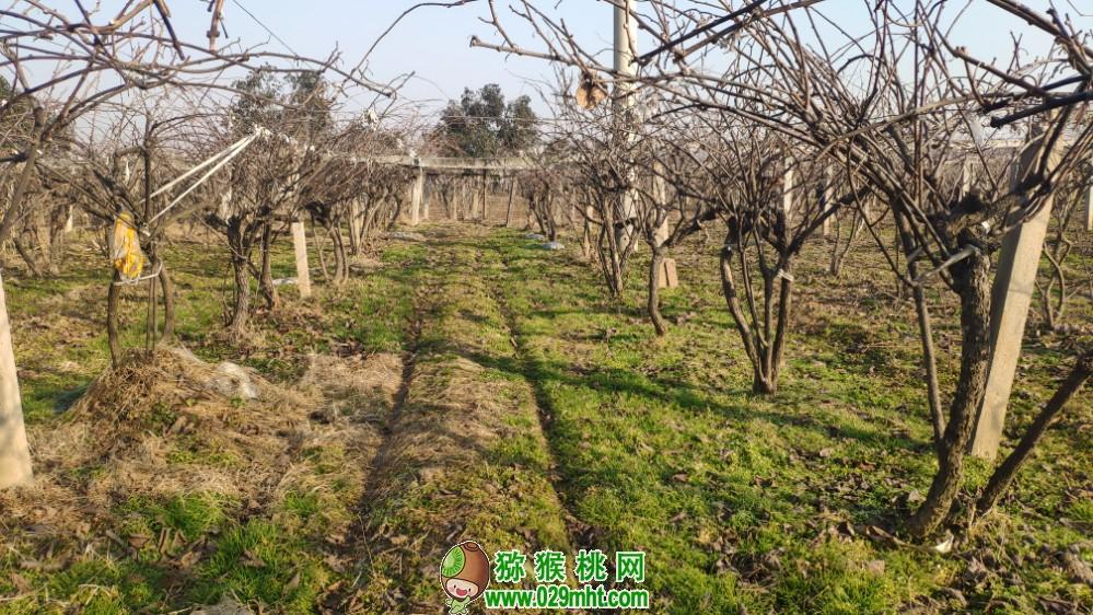 2020年1月份陕西省猕猴桃图片写真