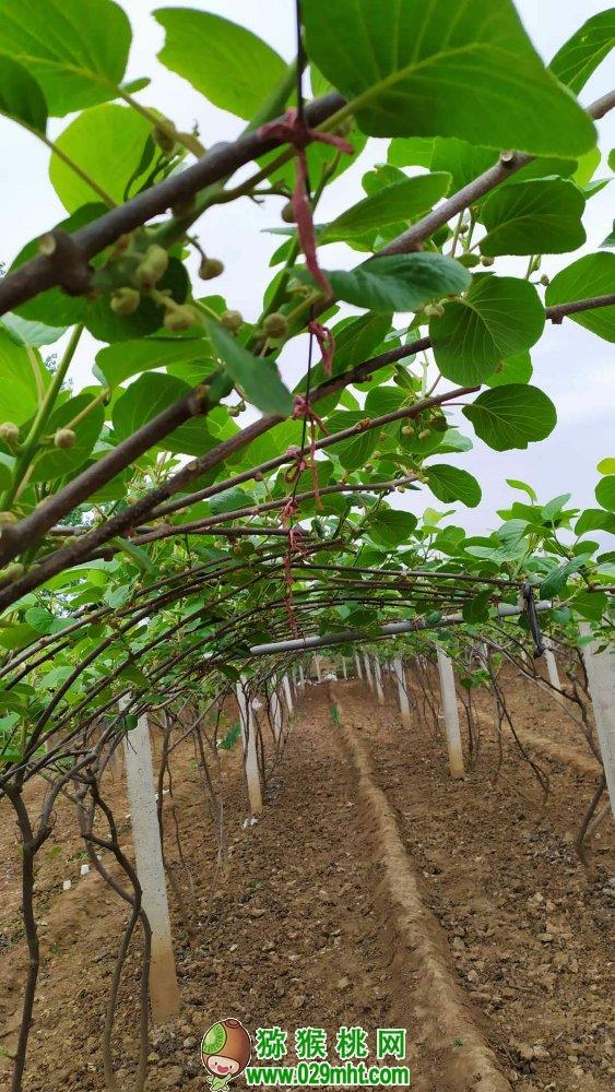 西安市周至县七曲村4月份有机猕猴桃照片