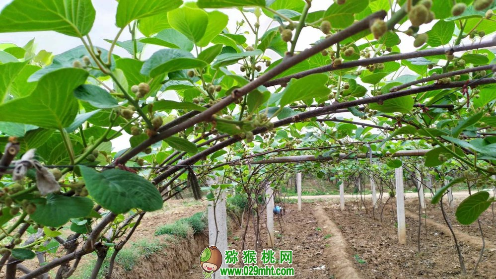 中国猕猴桃之乡七曲村猕猴桃家庭农场
