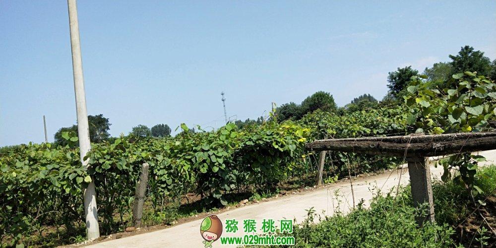 陕西省周至县猕猴桃家庭农场(图文)
