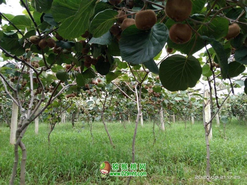 好吃的猕猴桃熟了 湘西·永顺第四届猕猴桃开园节开园