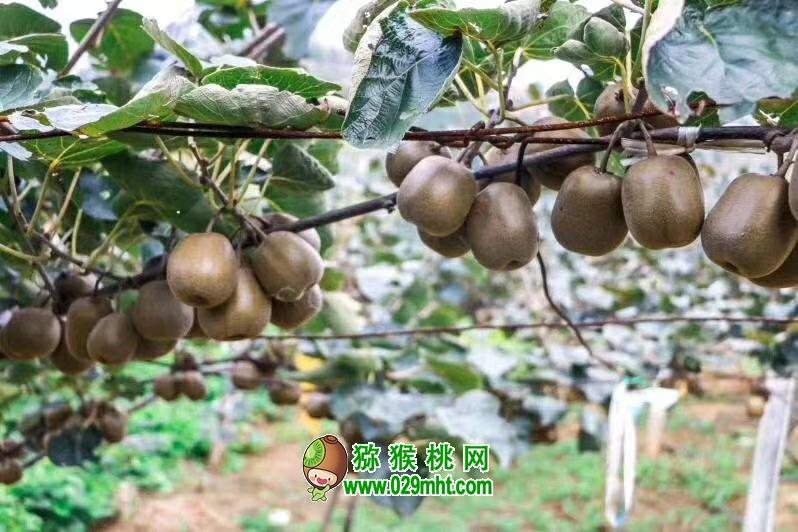 进入夏季高温季节,猕猴桃正处于幼果期,是各类病虫害发生危害初期