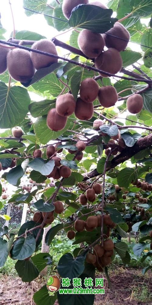潍坊寿光市:猕猴桃成熟上市 甜到心坎儿里