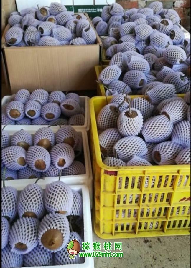 周至猕猴桃产地国庆中秋长假降雨销售依旧火爆