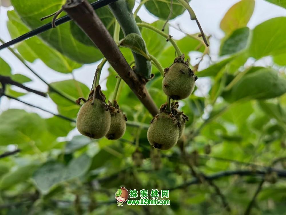 四川南充猕猴桃挂果长大了2021年4月