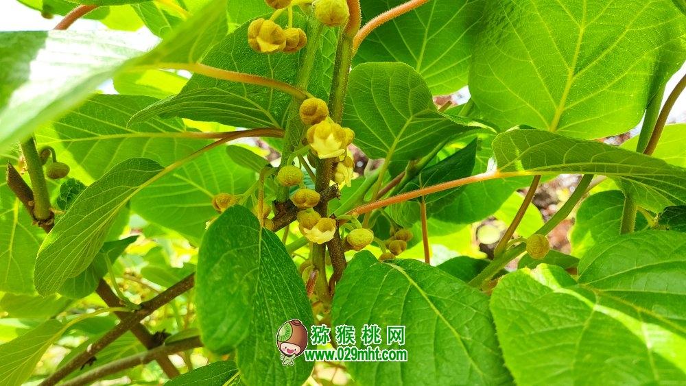 周至猕猴桃近期在搬侧花