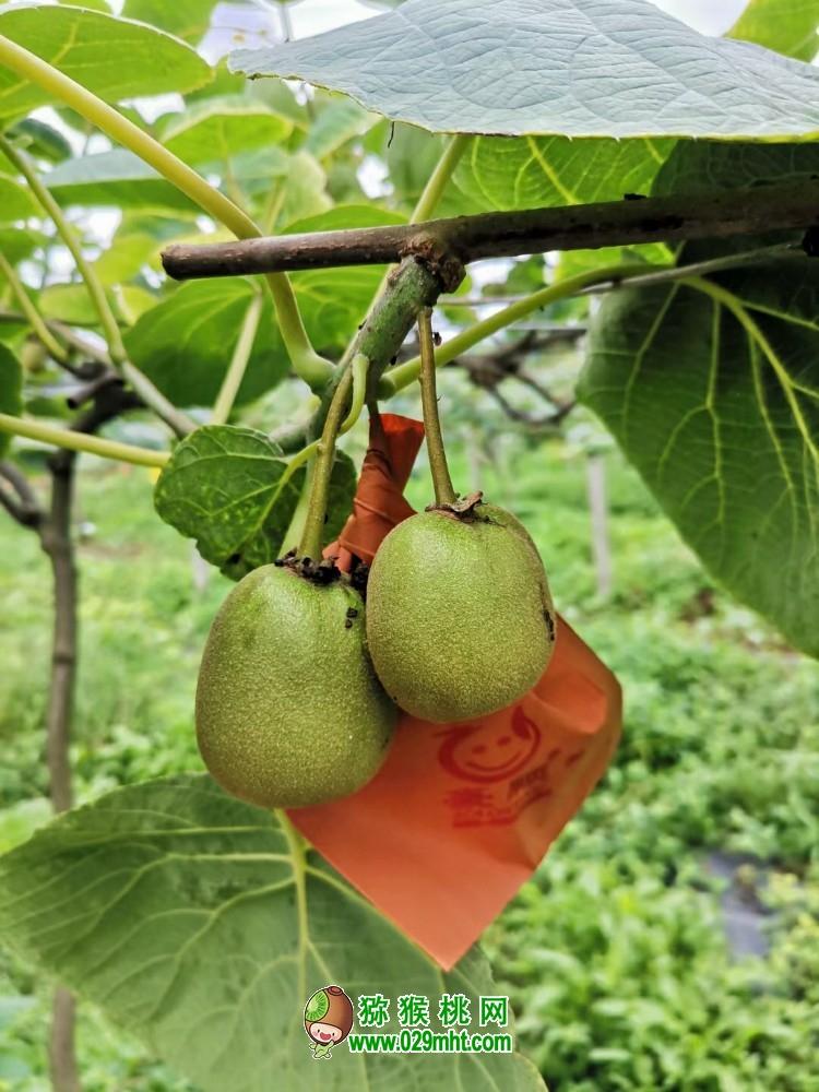 四川红心猕猴桃开始套袋子,今年猕猴桃有个好收成