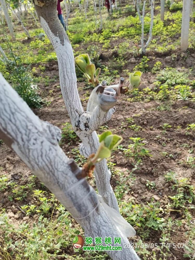 西安周至县猕猴桃老园大树改接翠香猕猴桃