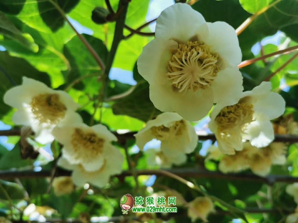 周至猕猴桃的出色品种徐香,翠香,秦美亚特