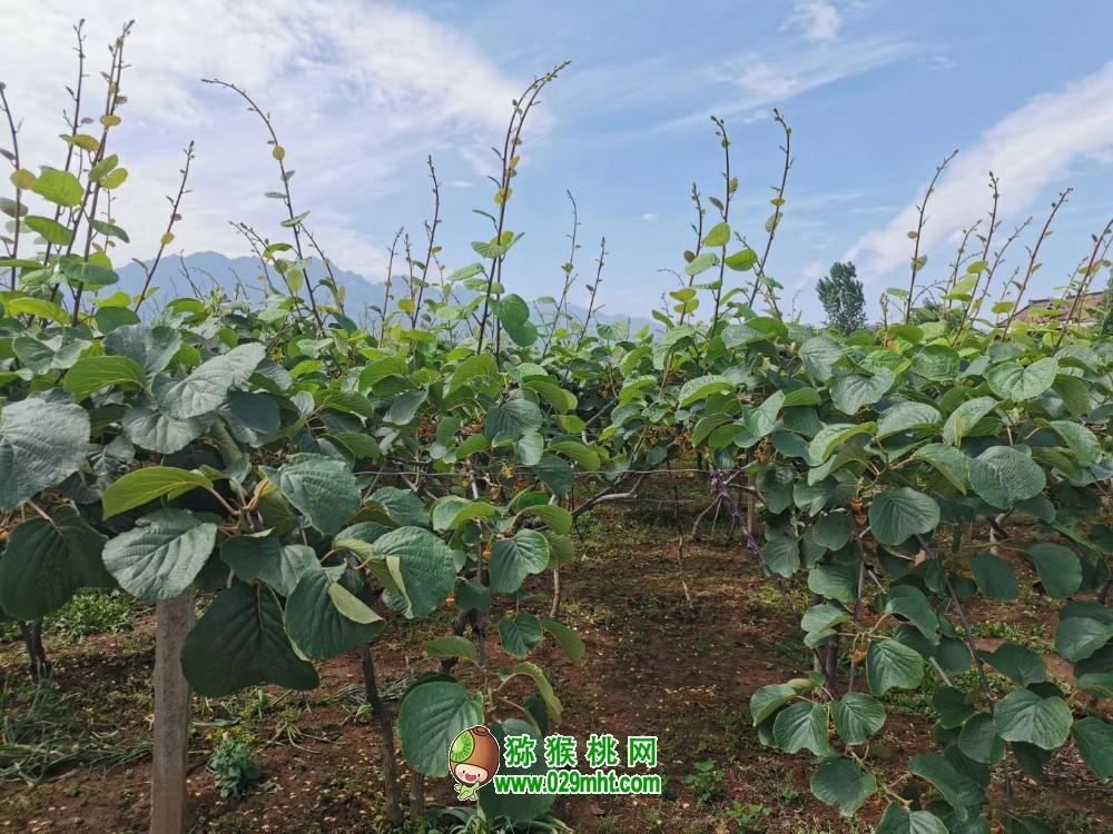 """世界知名的""""中国猕猴桃之乡""""眉县,做到了真正意义上的""""一县一业"""""""