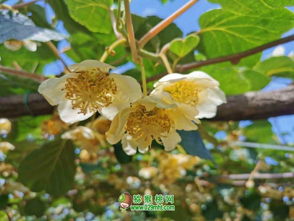 陕西省周至县猕猴桃生产环境