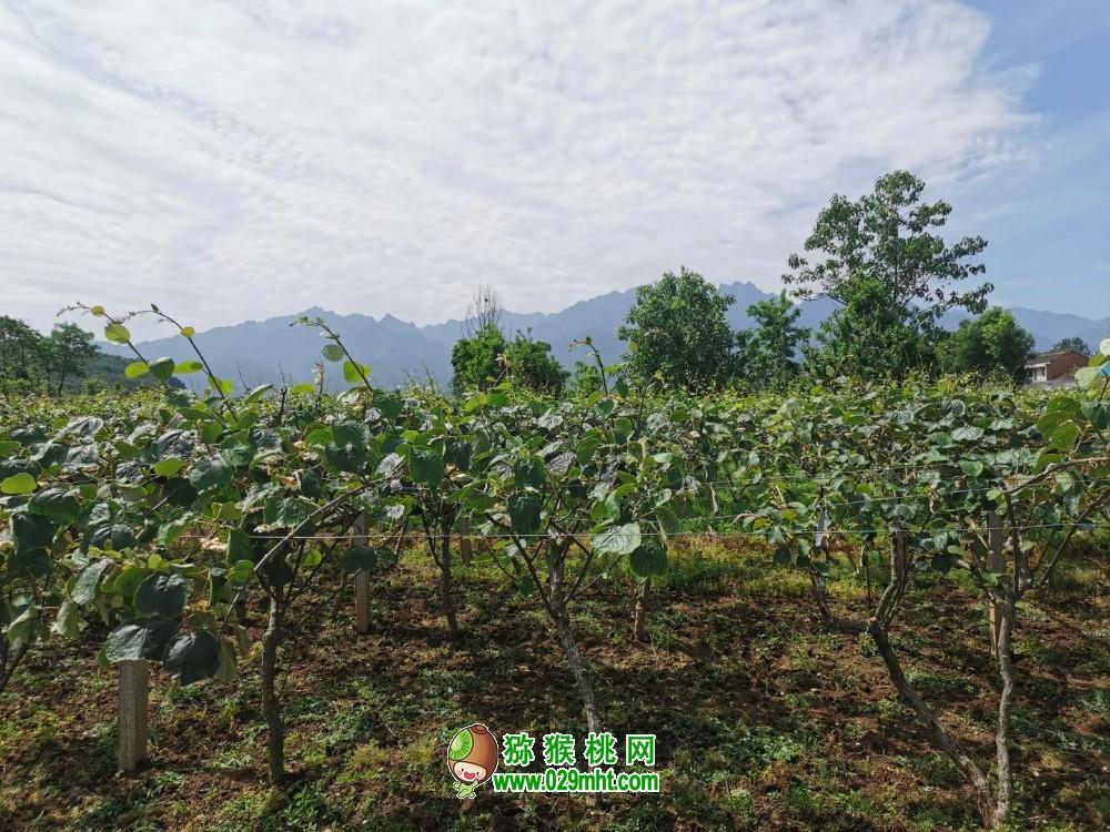 """陕西周至:""""订单农业""""为猕猴桃产业打通产销""""最后一公里"""""""