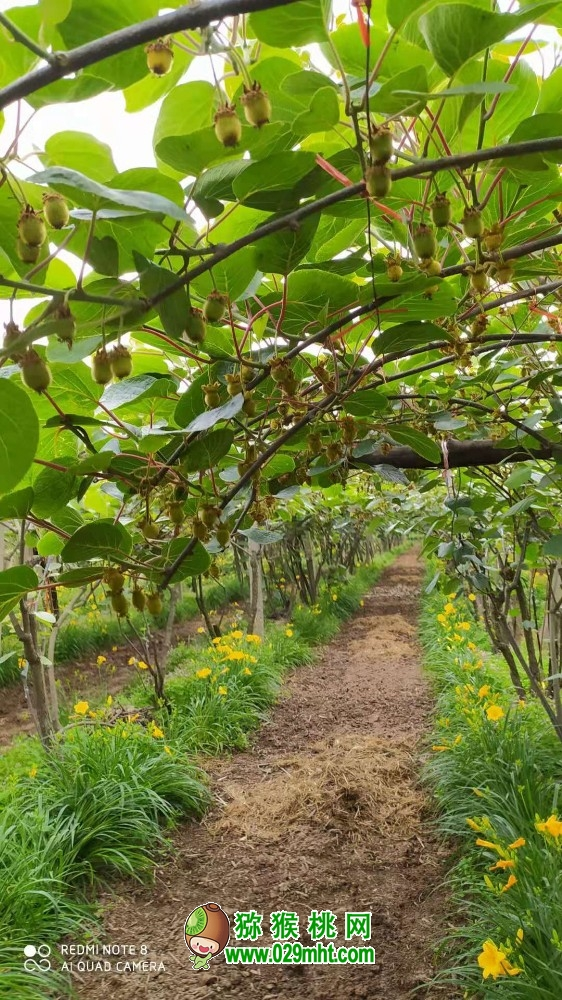 <a href=http://www.029mht.com/zhouzhimihoutao/ target=_blank class=infotextkey>周至猕猴桃</a>好吃的猕猴桃怎么种植的100期去看看6月