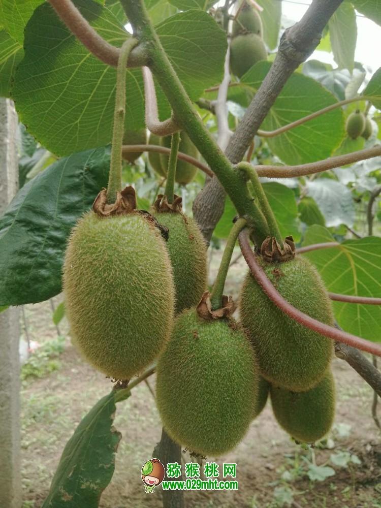 2021宝鸡市眉县的猕猴桃几月份可以成熟吃了
