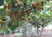 周至猕猴桃图片画报130期走进果园