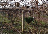 周至县七曲村12月猕猴桃图片