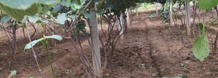 雨后周至猕猴桃原生态果园图片,记录106