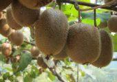 陕西猕猴桃图片最新奇异果图片
