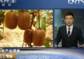 猕猴桃产业调查 陕西周至