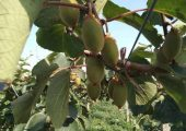 6月份周至猕猴桃果农黄佳带你走进他的果园,走进猕猴桃103期