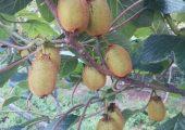 自然生长的瑞玉,猕猴桃画报110期