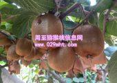 果农自产秦美猕猴桃销售
